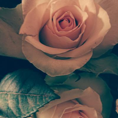 Fair Trade Rose Bella Rose