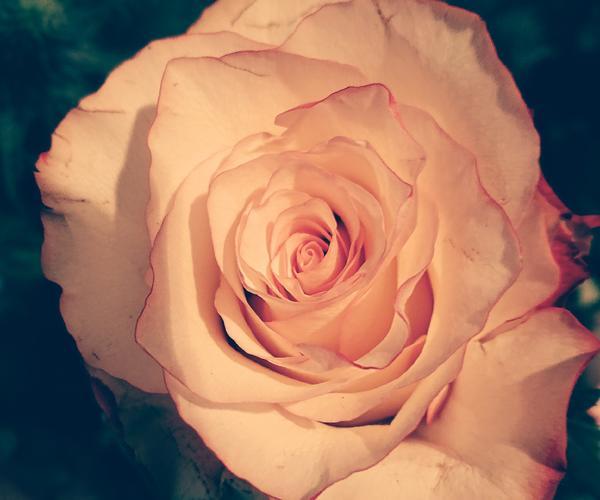 Fair Trade Rose Sweetness