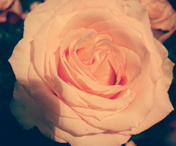 Fair Trade Rose Esperance
