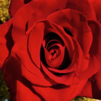 Fair Trade Rose Highness